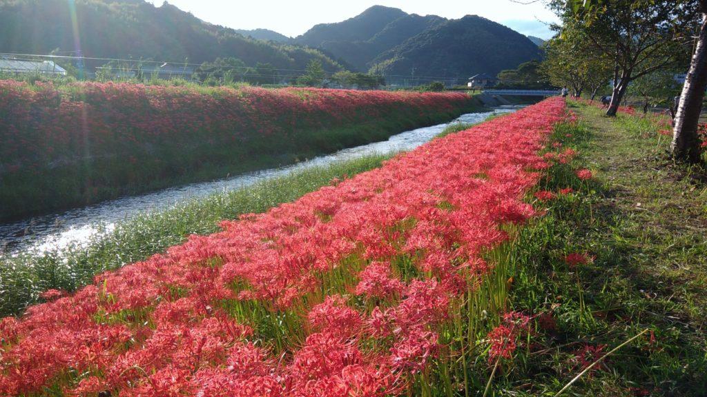 静岡県藤枝市葉梨 葉梨川の彼岸花(9月)