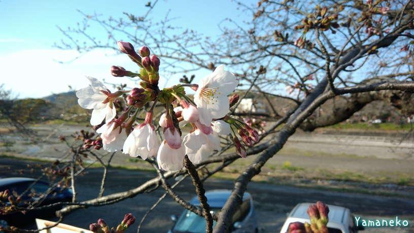 瀬戸川の桜2021年3月20日