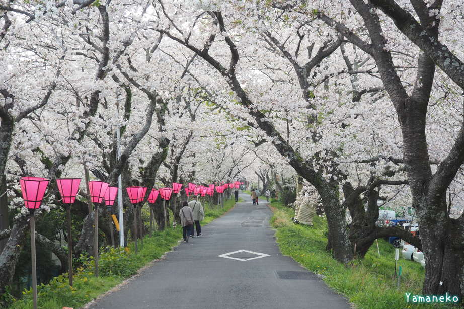 瀬戸川金比羅山の桜