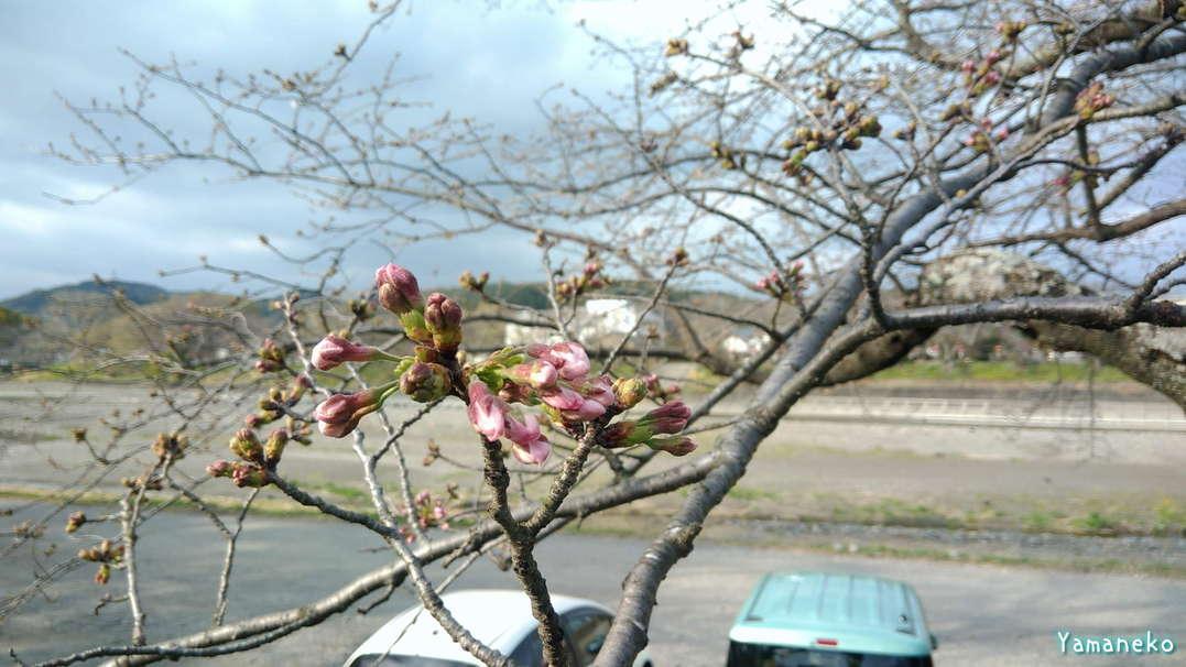 瀬戸川堤防 金比羅山 桜