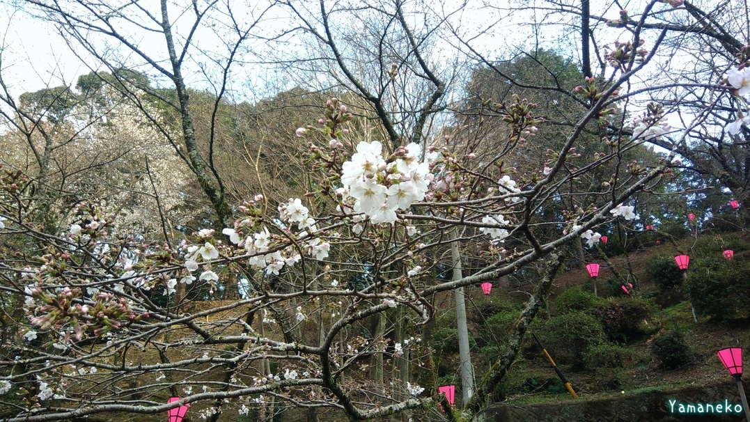 金比羅山桜2021年3月18日